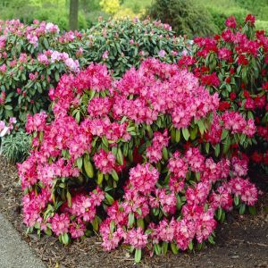 Rhododendron Morgenrot