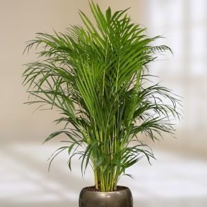 Areca Goudpalm Dypsis Lutescens