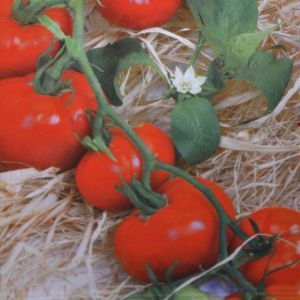 Tomatenzaad Rode Ronde