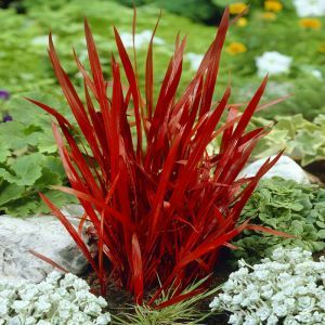 Imperata cylindrica Red Baron Japans