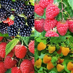 Rubus Collection