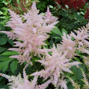 Astilbe Japonica Europa