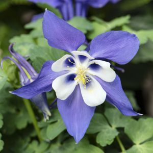 Aquilegia early Bird Blue and White 12 c